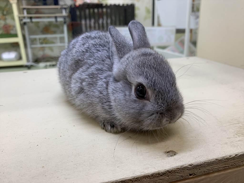ミニウサギグレー