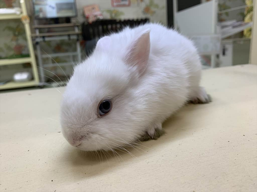 ミニウサギホワイト